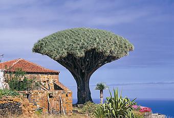 Icod & Dragon Tree